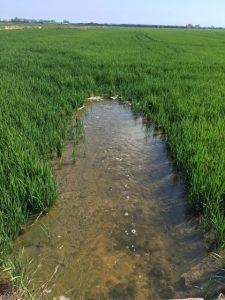 Entrada de agua en arrozal norte de Cullera